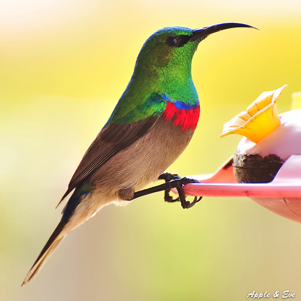 A little Sunbird shot in the garden of friends.