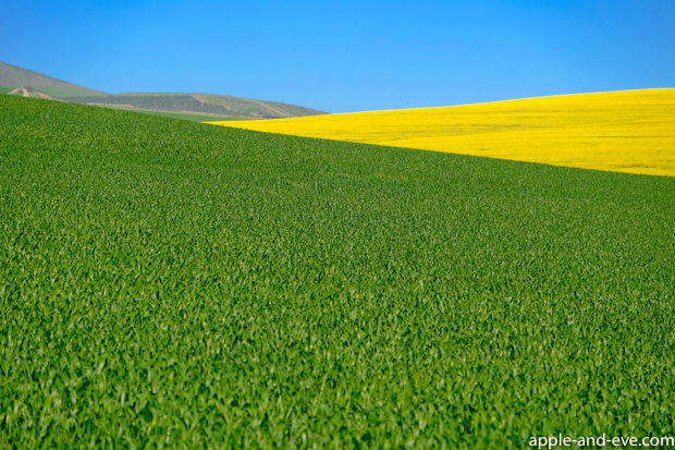 More Canola fields in the Overberg area.