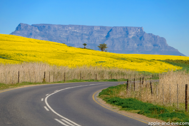 Table Mountain forms the background to some bright yellow Canola.